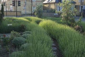Lavender bushes in the community garden
