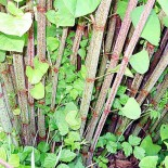 The invasive knotweed is causing misery for residents