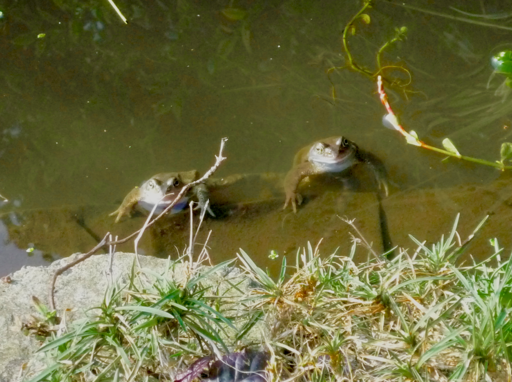Two frogs enjoying a swim in the, much cleaner, Moselle